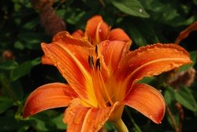 orange lily with long pestles close up