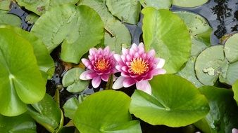 pink water lily among green leaves on water