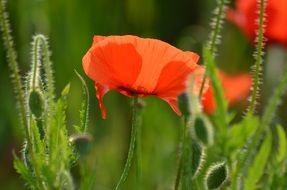 beautiful red poppies on the wild meadow