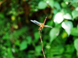 yellow dragonfly on a thin branch