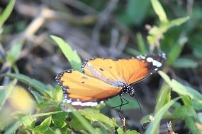 Orange and black Butterfly sits on grass