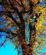 autumn tree in colorful yellow foliage on a sunny day