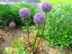 bush of blooming colorful allium