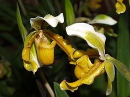 white-yellow orchid close up
