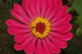 pink zinnia with yellow core