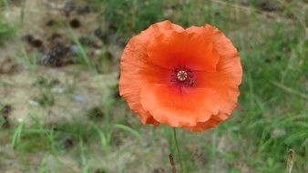 red flowering poppy top view