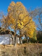 linden tree with autumn leaves near the cottage