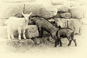 Mountain Goats Black And White photo