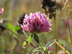 red clover on the wild meadow