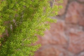 evergreen decorative tree on a stone wall background