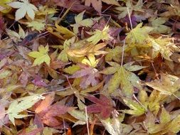 fallen colorful maple leaves