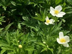 anemones, White Flowers on meadow