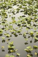A lot of the aquatic plants on the water
