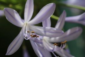 light purple flowers with pointed petals close up