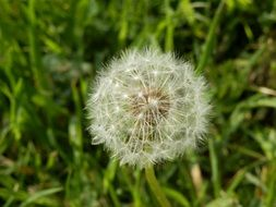 white dandelion among meadow grass