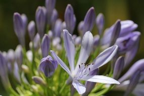 pale purple flowers with pointed petals close-up