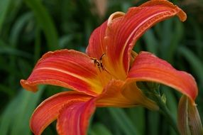 daylily blossom in the summer