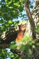 Squirrel on a tree in a forest