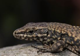 head of spotted Lizard close up