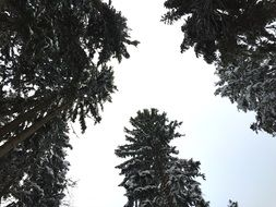 snowy treetops in the forest