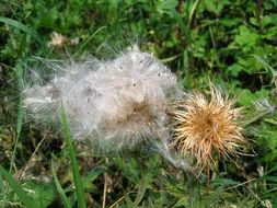 Flower seeds of thistle