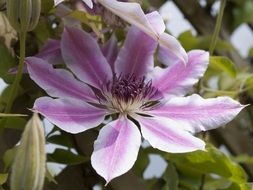 Closeup Picture of Clematis Pink bloom