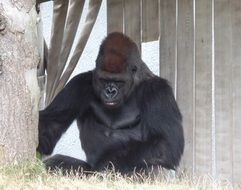 large gorilla in a zoo