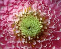 green middle of pink gerbera flower