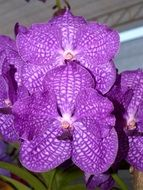purple orchids in white dots closeup