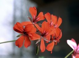 red ornamental geraniums