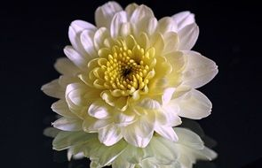 white chrysanthemum is reflected in the mirror surface