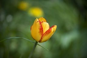 Picture of the red and yellow Flower