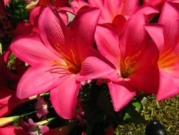 bouquet of bright pink lily under the bright sun