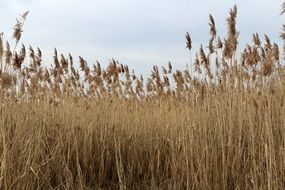 dry reed on the lake