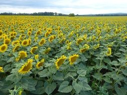 huge field of blooming sunflowers