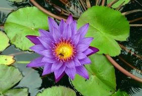 nymphaea edgeworthii lily