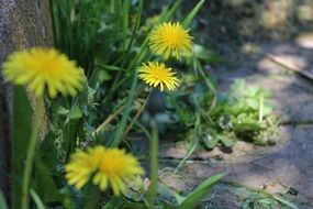yellow dandelions in the shade