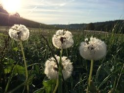 dandelions in the meadow under the bright sun