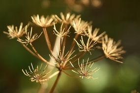 Queen Ann\'s Lace Fall plant macro