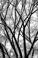 Winter Trees upward view