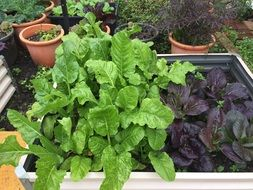 plants with green and red leaves on garden beds and in pots