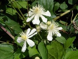 white flowers plants clematis