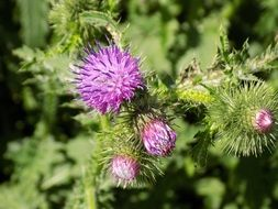 thistle with purple bloom