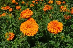 orange flower marigold