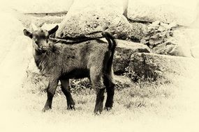 black and white photo of a mountain goat