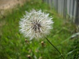 dandelion with seeds on a green field