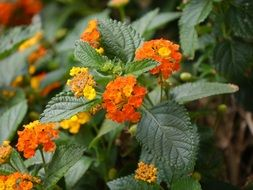 Orange and yellow lantana flowers