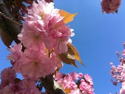 pink flowering of a cherry under the bright sun