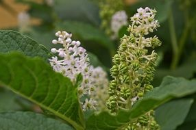pokeweed flowers