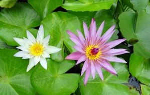 different water lily flowers